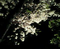 桜咲く(4/1)